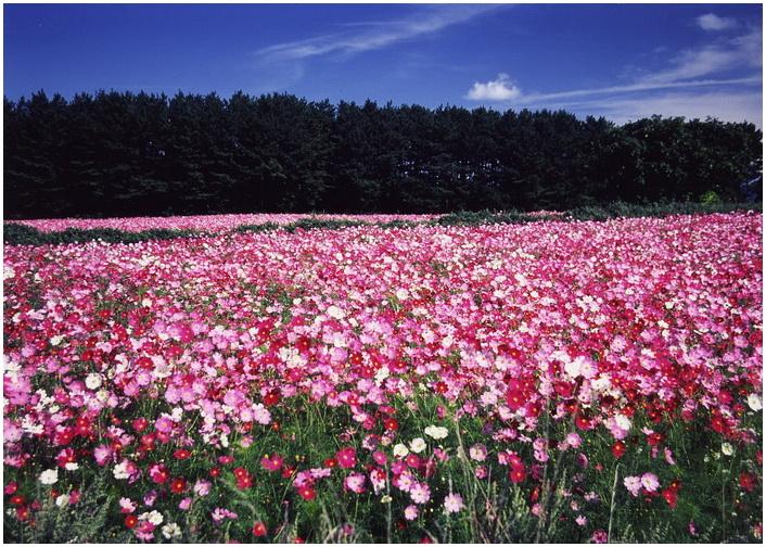 16 秋桜の丘.jpg